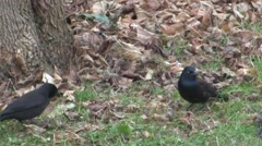 Common Grackle (Quiscalus quiscula) eating Stock Footage