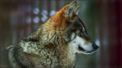 Eurasian wolf head looks around at twilight time, slow motion Stock Footage