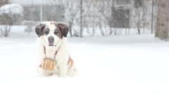 Saint Bernard sitting in a snow storm, video Stock Footage