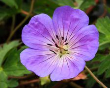 Perennial Geranium Rozanne Stock Photos