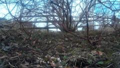 Two Robins and finches in shrubbery 06 - stock footage