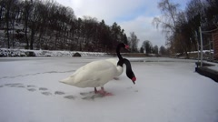 Two swans on frozen lake Stock Footage