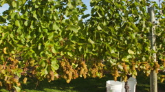 Motion time-lapse of picking grapes in Vineyard Stock Footage