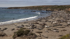 4K Time lapse of a huge colony of elephant seals Stock Footage