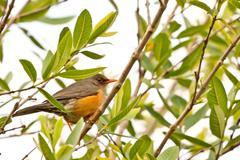 Smal orange beak bird Stock Photos
