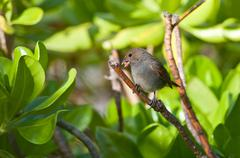 Female Lesser Antillean Bullfinch perched on a branch. - stock photo