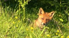 Red Fox (Vulpes vulpes) Stock Footage