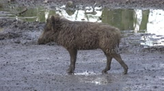 Stock Video Footage of 4k Young boar walking on muddy ground