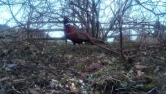 Male Pheasant in shrubbery 30 Stock Footage