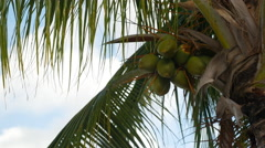 Coconuts hanging from a palm tree BVI Stock Footage