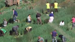 Leek Pickers 2 Stock Footage