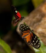 Yellow Tiger Longwing Butterfly and Red Postman Butterfly - stock photo