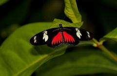 Red Postman Mimic Butterfly - stock photo