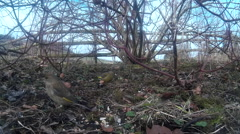 Greenfinches and Chaffinches in shrubbery 10 - stock footage