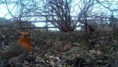 Robin  finches and Pheasant in shrubbery 01 Stock Footage