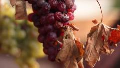 White and red grape drying Stock Footage