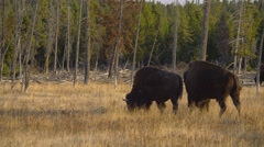 Buffaloes grazing near Firehole Drive in Yellowstone National Park Stock Footage
