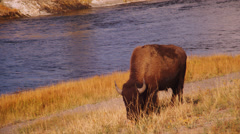 Stock Video Footage of Buffaloes grazing near Firehole River in Yellowstone National Park