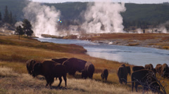 Buffaloes grazing near Firehole River in Yellowstone National Park - stock footage