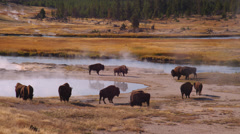 Buffaloes grazing near Grand Prismatic Spring in Yellowstone National Park Stock Footage