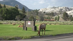 Elk at Yellowstone National Park at Mammoth Hot Springs Stock Footage