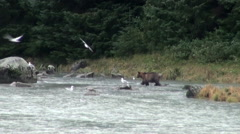 Brown Bear - It Is Time For Lunch! Stock Footage