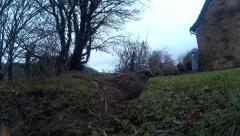 Dunnock on lawn 05 Stock Footage