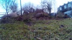 Female Pheasants in garden 11 Stock Footage