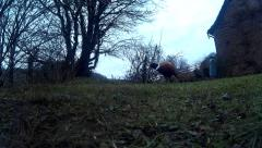 Male Pheasant on lawn 35 Stock Footage