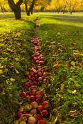 Apple Orchard Fall Harvest Stock Photos
