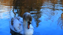 Young swan Stock Footage