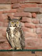 South africa owl standing on a wooden bar and a brick wall Stock Photos