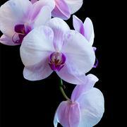 pink phalaenopsis - stock photo