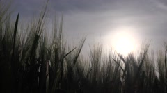 4K Wheat Harvest in Sunset Field, Cereals Crop, Grains, Agriculture, Farming Stock Footage
