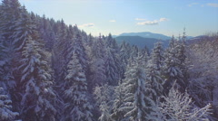 AERIAL: Snowy spruce forest in winter Stock Footage