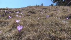 Hiking on Mountains Hill, View Walking in Spring Crocus Flowers Meadow, POV Stock Footage
