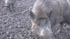 4k Wild boars pack in muddy ground Stock Footage