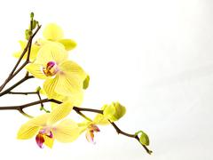 Blossoming  yellow orchid isolated on white background - stock photo