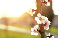 Blooming tree - Spring Orchard Stock Photos