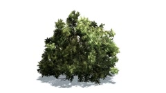 Boxwood in a strong wind Stock Footage