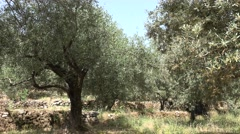 4K Olive Orchard, Trees Greece Countryside View in Summer, Oil Farm, Harvest Stock Footage