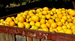 Large boxes filled with lemons. Harvesting in the lemon garden. - stock footage