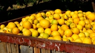 Stock Video Footage of Large boxes filled with lemons. Harvesting in the lemon garden.