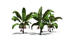 Banana plants in the light breeze Stock Footage