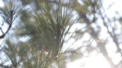 Cedar Trees Rack Focus Stock Footage
