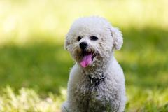Bichon in the park Stock Photos