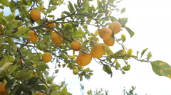 Lemons On Lemon Tree Stock Footage