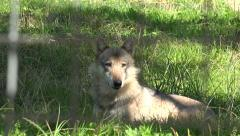 4K Timber Wolf Captive in Zoo Animal Reserve Natural Reservation, Portrait, Face Stock Footage