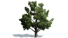 Deciduous tree in strong wind Stock Footage