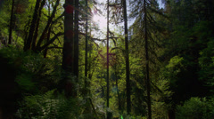 Sunlight passing through trees in forest at Silver Falls State Park Stock Footage